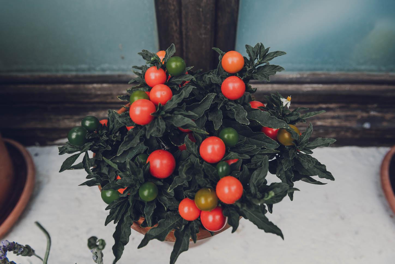 planta de tomates en un tiesto en la repisa de una ventana como decoración de una boda eco